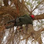 שיקום עצים עתיקים