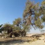 השיזף העתיק - שימור עצים