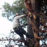 גיזום בטיחות לעצים מסוכנים