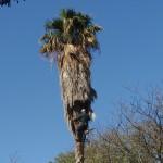 גיזום עצים - גיזום בגובה